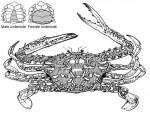 Blue swimmer crab (sand crab)
