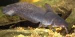 Freshwater catfish (eel-tailed catfish)