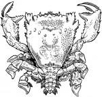 Spanner crab (frog crab)