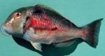 Venus tuskfish