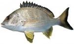 Yellowfin bream