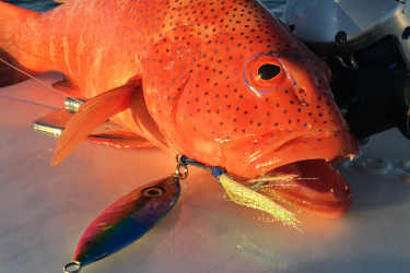 Coral Trout on Jigs